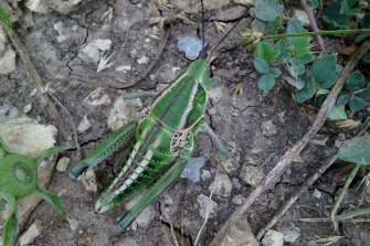 Looking for more nutritious plants: A Plains Lubber grasshopper (Brachystola magna) at Konza Prairie.
