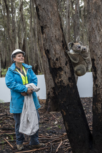 Kellie Leigh releases Lakshmi and her joey, Ra, in Kanangra-Boyd National Park in NSW in March last year. The koalas had been evacuated to Taronga Zoo to escape the Gospers Mountain fire.