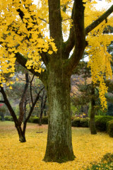 Japan's gingko trees were the first living things to grow back after the bombing of Hiroshima.