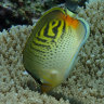 Coral bleaching changed 'rules of engagement' for feisty butterflyfish