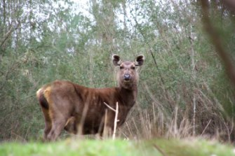 A sambar deer near Eildon in central Victoria.