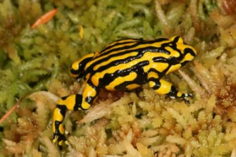 The OECD said Australia had a poor record on threatened species. Pictured: the endangered corroboree frog.