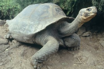 Tortoises know when to stick their necks out and when to withdraw to safety.