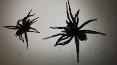 Spiders as big as 10cms in leg span have been handed in to the Australian Reptile Park.