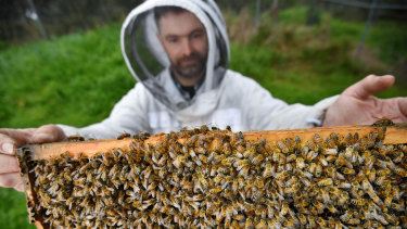 Bees used to pollinate almond trees in Victoria.