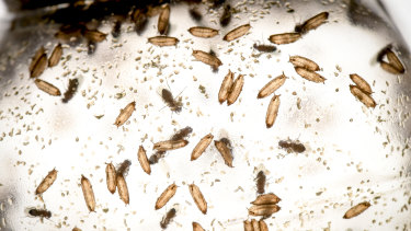 Just like humans, fruit flies can be either sitters or rovers.