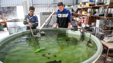 Murrayville Year 12 student  Tom Wurfel tends to a Barramundi in the school's aquaponics tank.