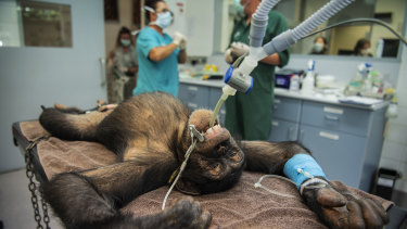 Six-year-old Fumo lies on the operating table at the Taronga Zoo veterinary hospital.
