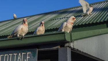 A flock of Corellas in Nowra