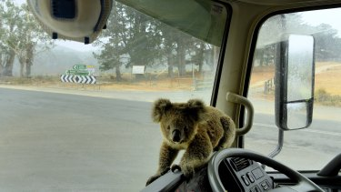 'Tinny arse' the koala was later taken away from the danger zone.