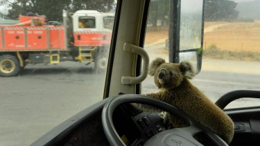 The koala, dubbed Tinny Arse, sits in his rescuer's water tanker.