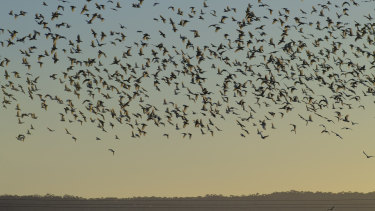 A large flock of Corella arrive in Terara at sunrise from nearby Nowra