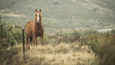 A wild brumby in the Kiandra high country, in the NSW Snowy Mountains.