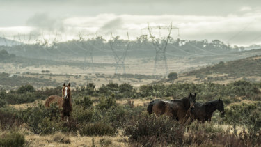 Kosciuszko National Park, which is home to about 6000 brumbies, according to the NSW National Parks and Wildlife Service.