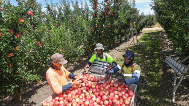 Fruit pickers at work in the Goulburn Valley this week.