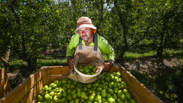 Fruit picker Leleiga Fetui. at work in Orrvale.