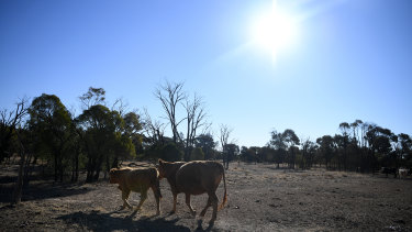 Cattle on a stock route near St George in central southern Queensland - a region in its sixth year of drought.