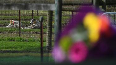 Greyhound dogs are seen behind flowers laid by a mourner at the property of Greyhound trainer Karen Leek in Devon Meadows on Wednesday.