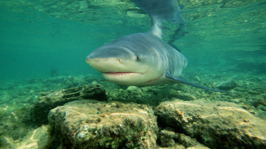 Great whites, tiger sharks and bull sharks - such as this fish - are typically the target species for shark monitoring programs.