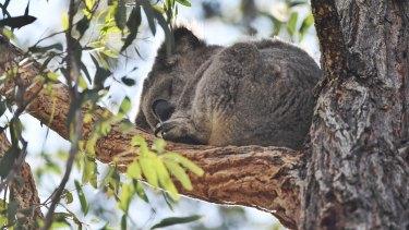 Koala numbers are falling.