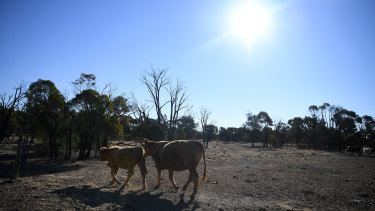 Cattle belonging to the Cookson family is seen along a stock route near St George, Queensland - a region in its sixth year of drought.