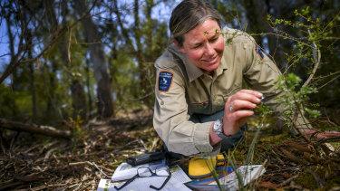 Park Ranger Megan Lowe inspecting habitat of the caterpillars of the rare Eltham copper butterfly.