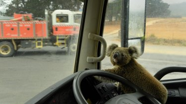 "The koala named ""Tinny Arse"" that was rescued by Damian Campbell-Davys from a bushfire zone sits in his water tanker."