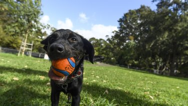 A dog and its ball in an off-leash Sydney park.