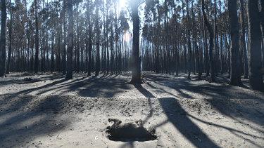 A dead koala on the island.