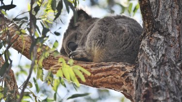 The Berejiklian government is planning to spend $84 million over five years to help preserve wildlife including koalas in the Cumberland Plain.