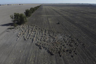 Mustering of sheep in a paddock of a failed wheat crop at Rebecca and Dan Reardon's property near Moree.