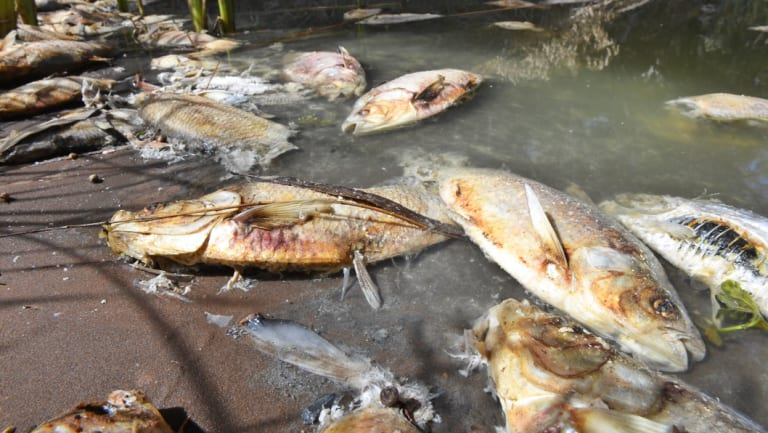Days after a mass fish kill in the Darling River at Menindee, hundreds of carcasses remain , stinking and rotting.