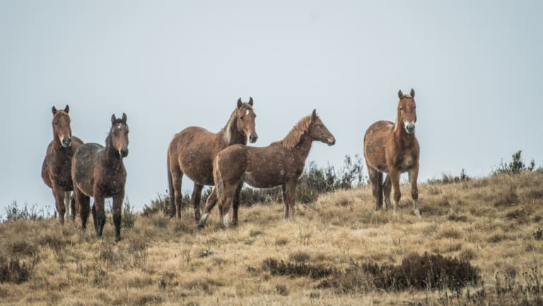 A rising threat to native flora and fauna: wild brumbies in the Kiandra high country.
