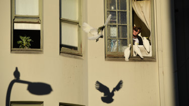 A Kings Cross resident feeds a gang of cockatoos gathered outside his kitchen in the late autumn afternoon sunlight.