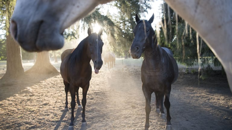 Justice and fellow rescued horses sheltered in Oregon.