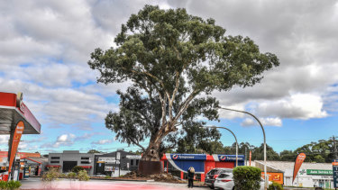 The magnificent river red gum stands proud in front of a Caltex service station in Bulleen.