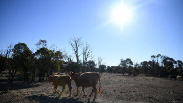 Cattle belonging to the Cookson family is seen along a stock route near St George, Queensland. The Cooksons' Koomalah property, near Dirranbandi, has been in drought for the past six years and cannot sustain livestock.
