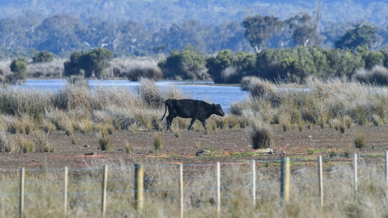 A cow in Heart Morass wetlands.