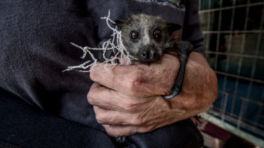 Grey-headed flying foxes, which are vulnerable because of their declining numbers, are being choked and injured by tree netting.