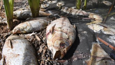 Days after a mass fish kill in the Darling River at Menindee, hundreds of carcasses remain, stinking and rotting.
