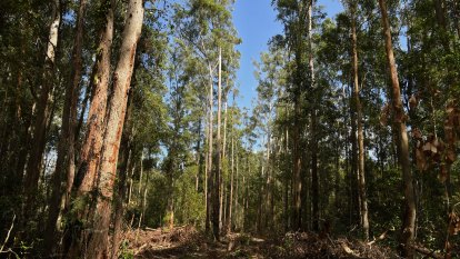 Forestry Corp sought to ease post-bushfire logging curbs to save jobs