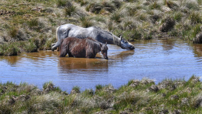 Brumbies to be culled under draft plan for Kosciuszko National Park