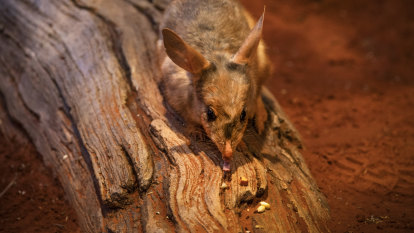 Accelerating evolution: greater bilbies will be 'trained' to fear cats