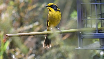 Second home gives Victoria's endangered honeyeaters a flighting chance