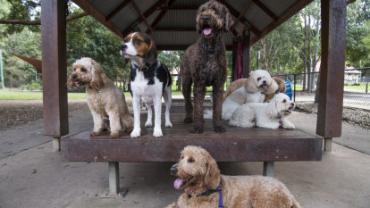 'The dogs are their babies': the puppy-lovers spending $500 a week on doggy daycare