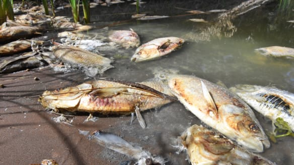 'One died in front of us': More dead fish surface in the Darling River