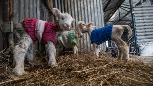 Knitted jumpers for lambs aren't just cute. They're saving lives