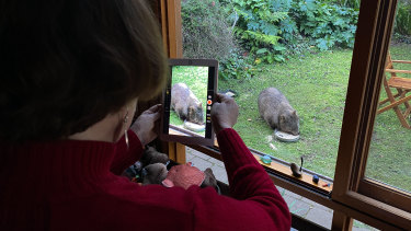 Jackie French photographs a wombat visiting her property in the Araluen Valley, the inspiration for her book Fire Wombat.