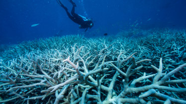 Examples of bleached coral bleaching on the Great Barrier Reef.
