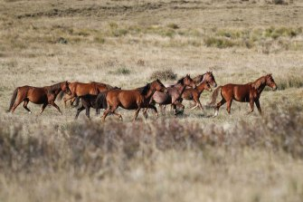 Feral horses cross Long Plain in Kosciuszko National Park last week.